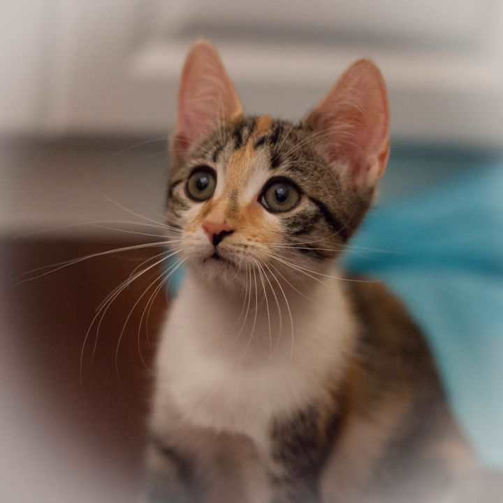 Annie, an adoptable Calico & Domestic Short Hair Mix in Ponte Vedra, FL