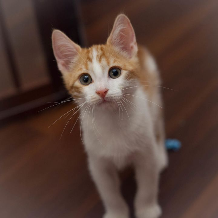 Kristoff, an adopted Domestic Short Hair in Ponte Vedra, FL