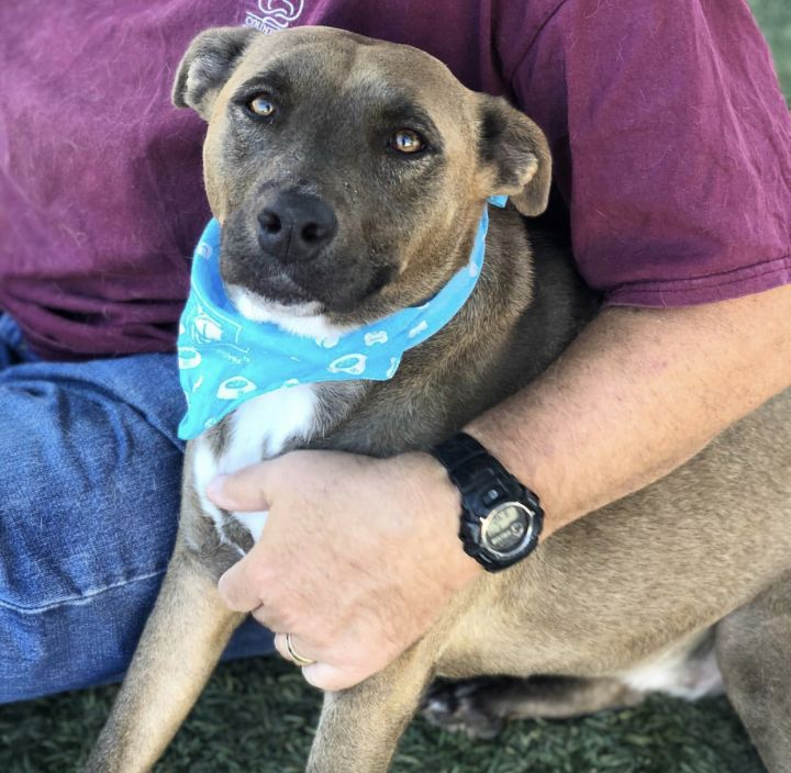 Lola, an adopted Labrador Retriever & Pit Bull Terrier Mix in Los Angeles, CA