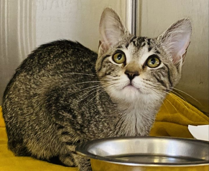 Creek, an adoptable Domestic Short Hair in Los Alamitos, CA