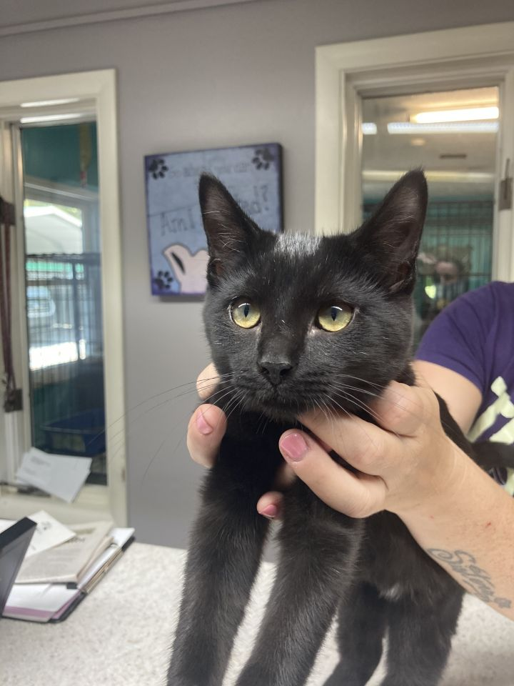 Taffy, an adoptable Domestic Short Hair in Spencer, IN