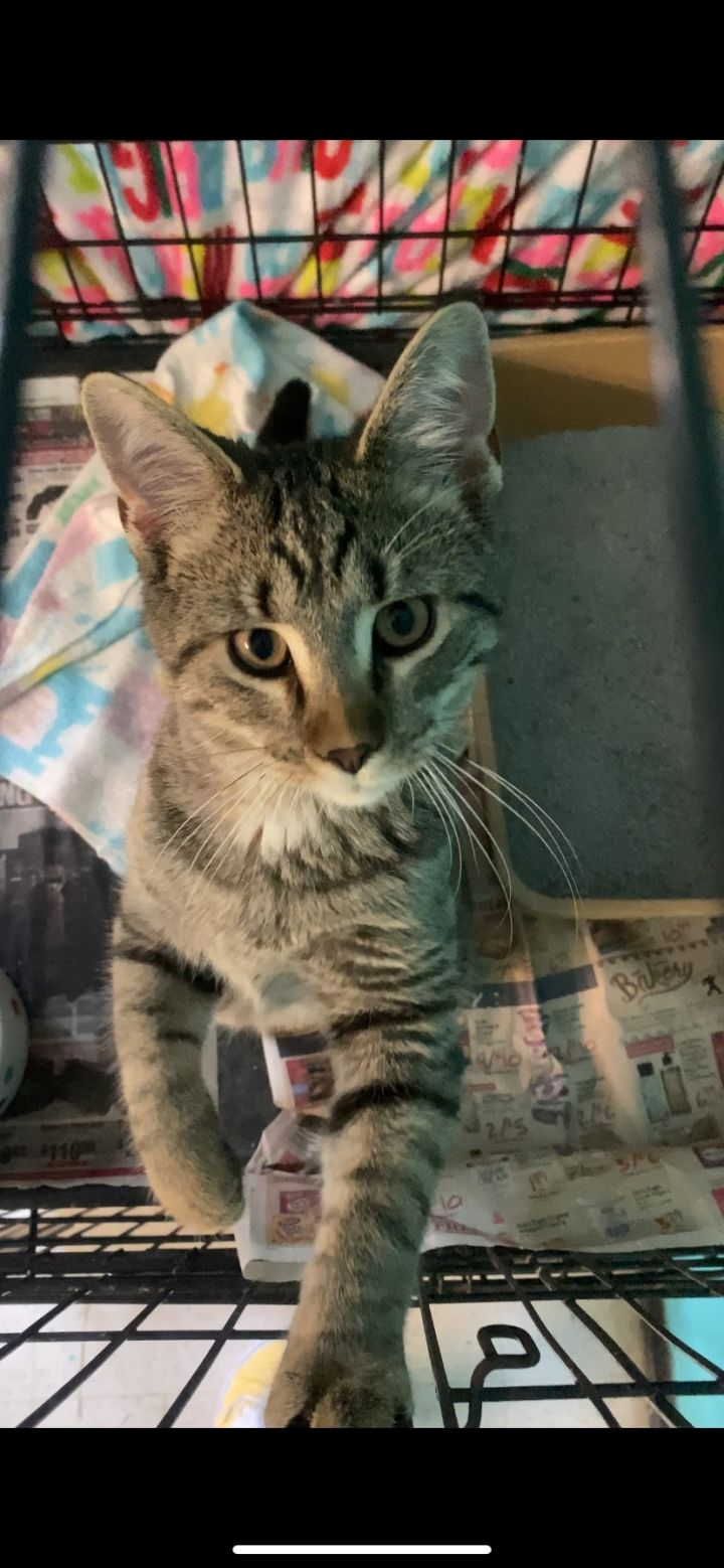 Aspen, an adoptable Domestic Short Hair in Spencer, IN