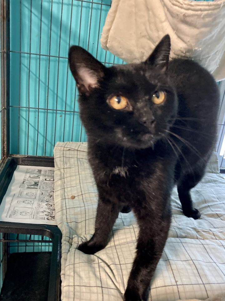 Manxie, an adoptable Domestic Short Hair in Spencer, IN