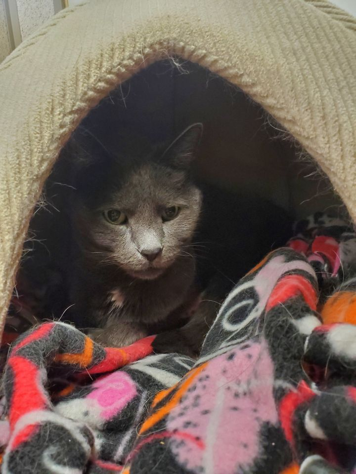 Lucy, an adoptable Domestic Short Hair in Naperville, IL
