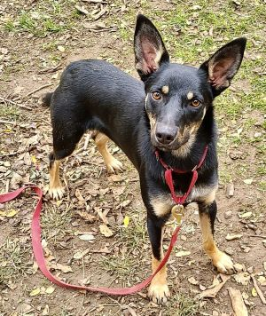 This beauty is Zelda a petite Shepherd mix possibly Australian Kelpie who is the life of the part