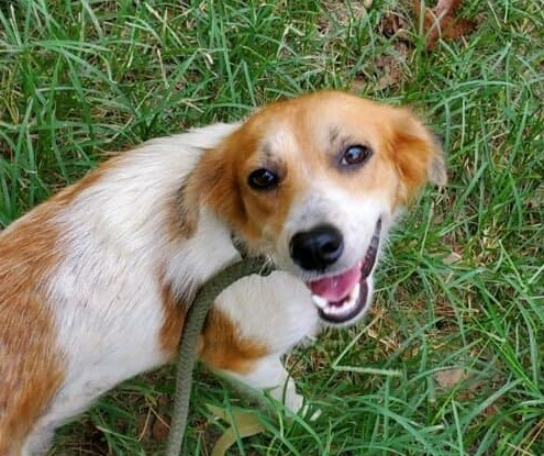 Lulu, an adopted Collie & Terrier Mix in Rochester, NY