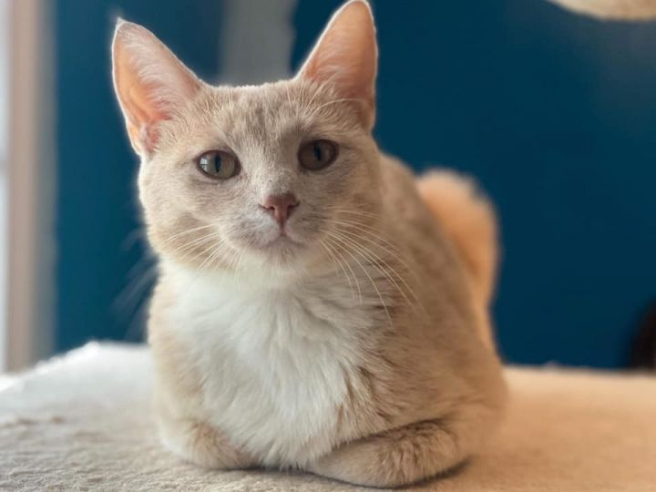 Sweetey, an adoptable Domestic Short Hair in Kentwood, MI