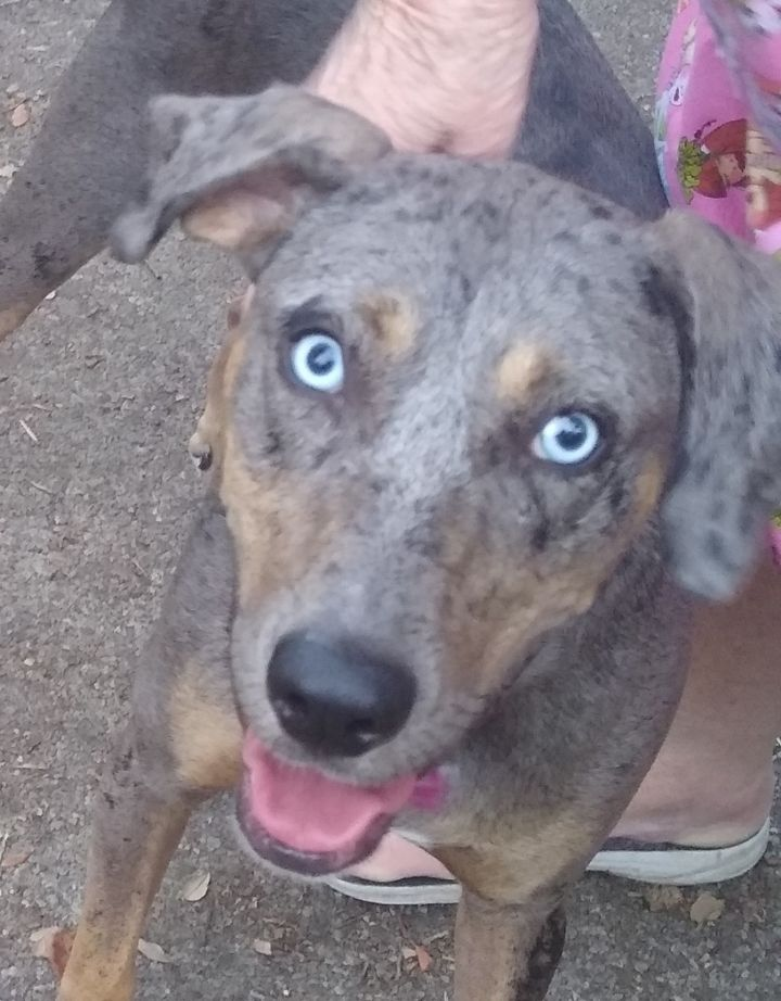 Sable, an adoptable Catahoula Leopard Dog in Mary Esther, FL