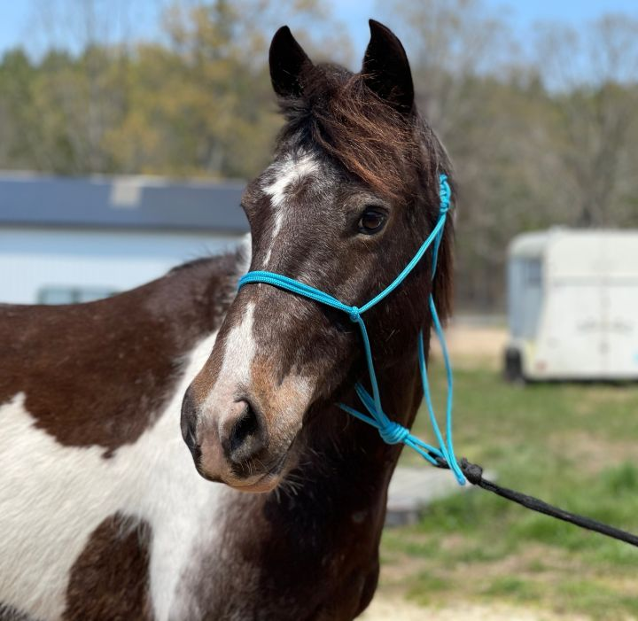 Astrid, an adoptable Pony in Hohenwald , TN