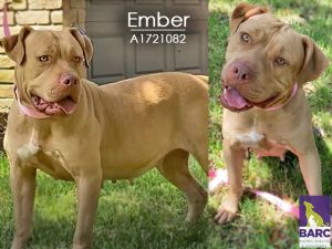 Ember is an impressive gal She has a friendly demeanor and loves to meet new people She is learnin