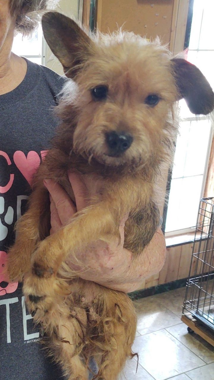 Honey, an adopted Cairn Terrier & Yorkshire Terrier Mix in Spring, TX