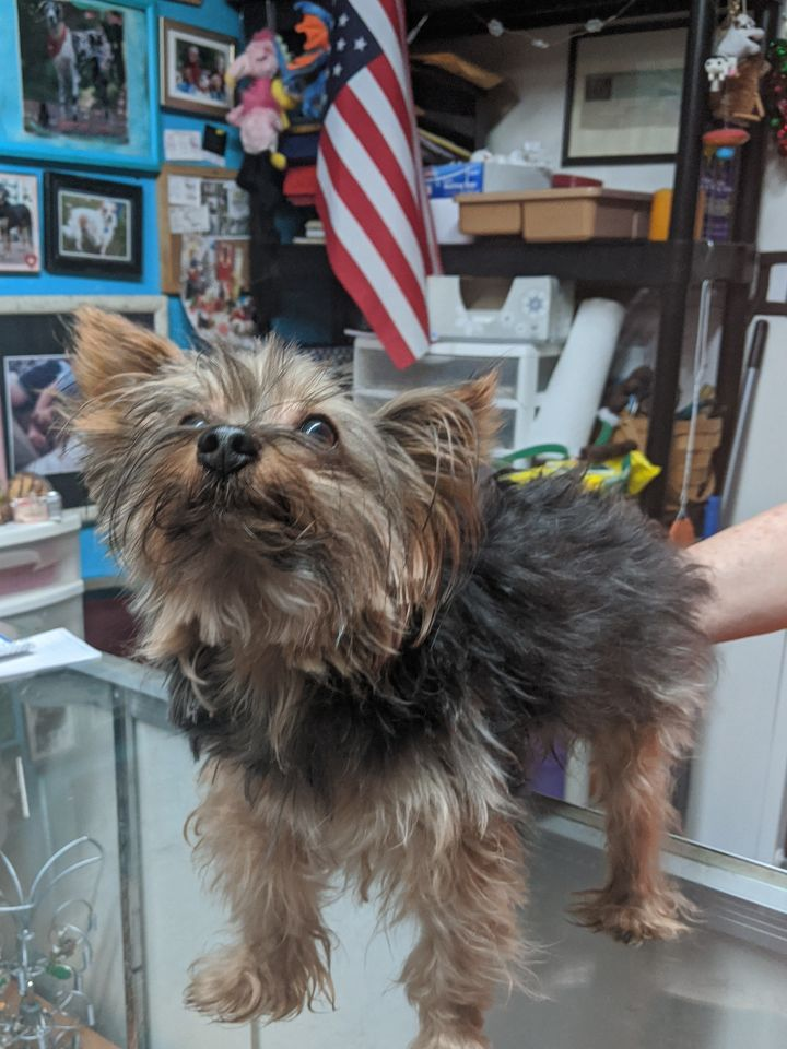 Luca, an adopted Yorkshire Terrier in Spring, TX