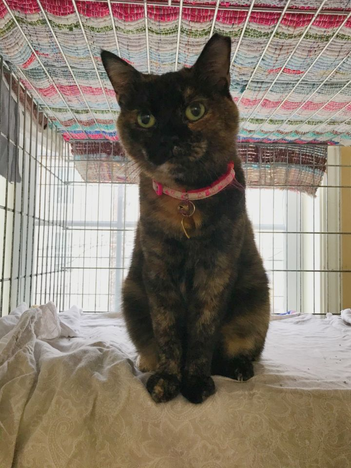 Penny, an adoptable Domestic Short Hair in Youngwood, PA