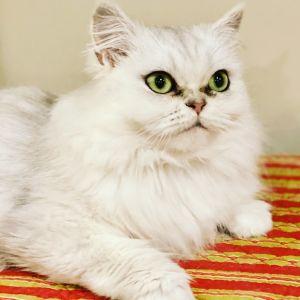 Bella & Bowie Persian Cat