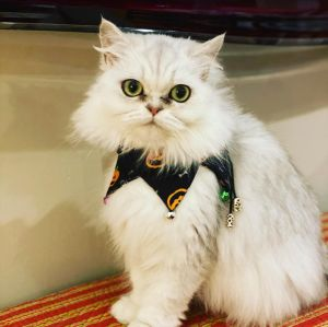 Bowie aka Luna and Bella are a pair of purebred Persian cats baby doll face that we rescued from