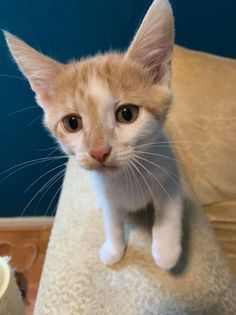 Snowball, an adopted Domestic Short Hair & Tabby Mix in Kentwood, MI