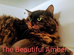 AMBER Domestic Long Hair Cat