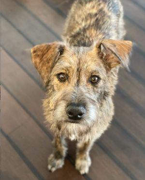 Valley Girl Terrier Dog
