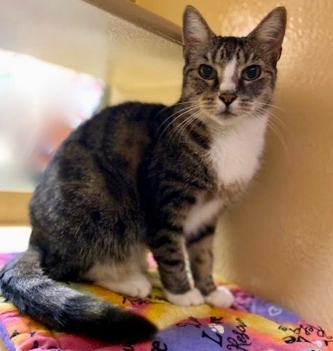 Kitty, an adoptable Domestic Short Hair in Greenburgh, NY