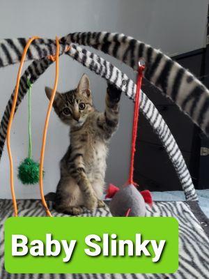 Baby Slinky Tabby Cat
