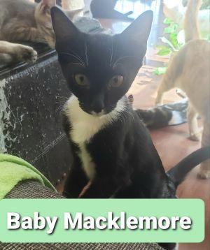 Baby Macklemore Tuxedo Cat