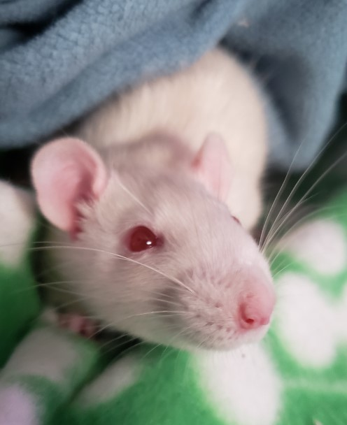 Raphael, an adoptable Rat in Saint Paul, MN