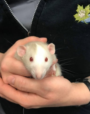 Michaelangelo, an adopted Rat in Saint Paul, MN