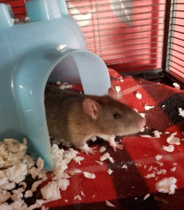 Jingle, an adopted Rat in Saint Paul, MN