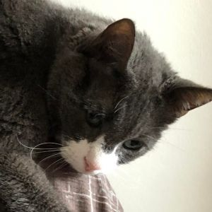 Rocco is a mellow older cat 16 He likes to be close to where you are but does