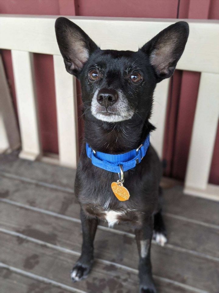 Spanky, an adopted Chihuahua Mix in Ridgefield, CT_image-1