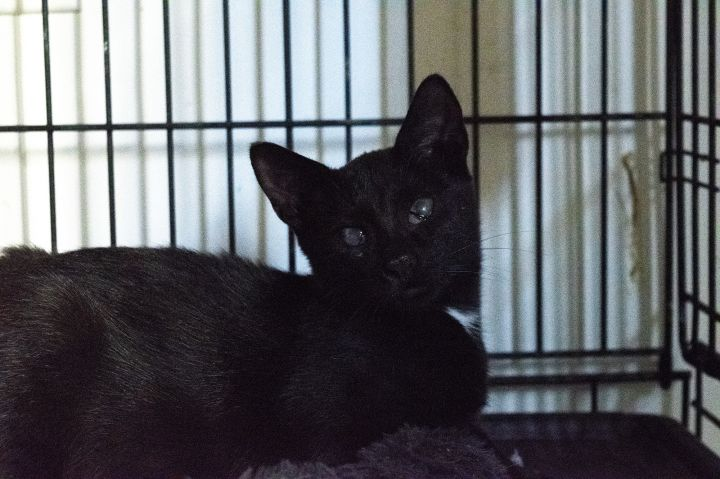 Brinkley, an adoptable Domestic Short Hair in South Ozone Park, NY