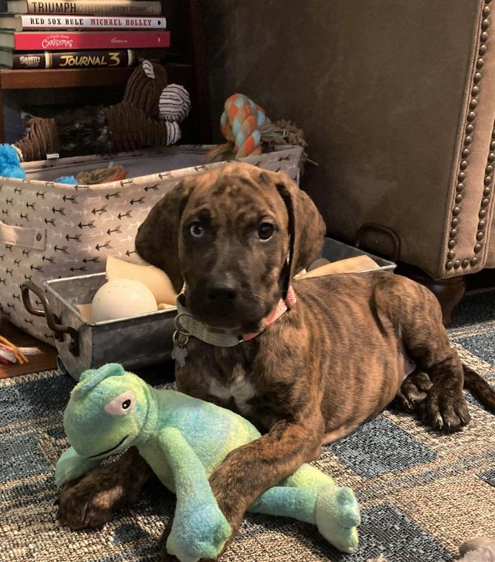 Shaggy, an adopted Bloodhound Mix in Rochester, NY
