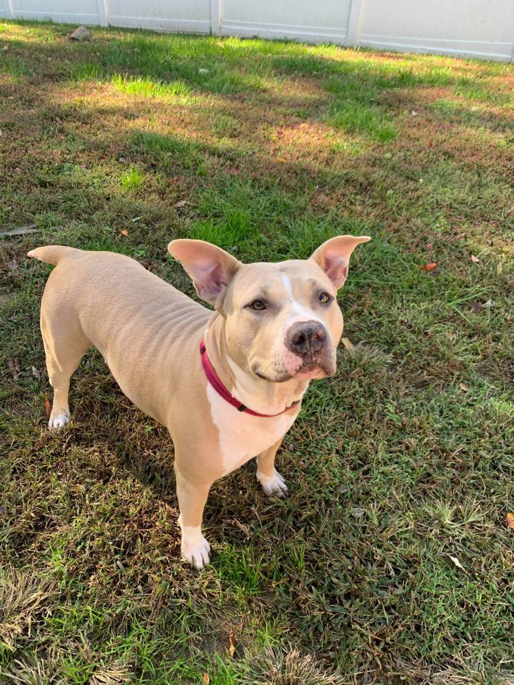 Keira, an adopted American Staffordshire Terrier in Salisbury, MD