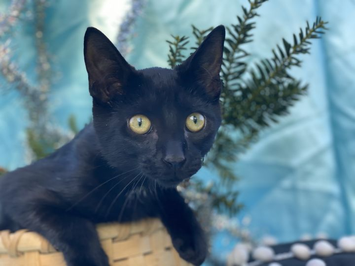 Wayne Sparks, an adoptable Domestic Short Hair in Eaton Rapids, MI