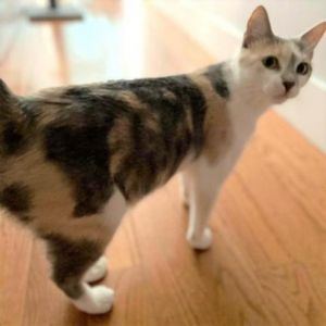 Miss Wiggles a 3-year-old cat who is a joy to be around and warms up to people very quickly She