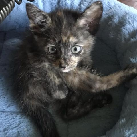 Turtle, an adoptable Domestic Short Hair & Tortoiseshell Mix in Eaton Rapids, MI