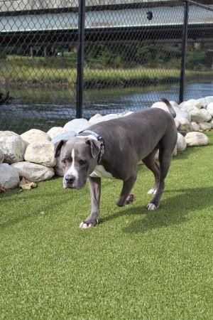 Layne Pit Bull Terrier Dog