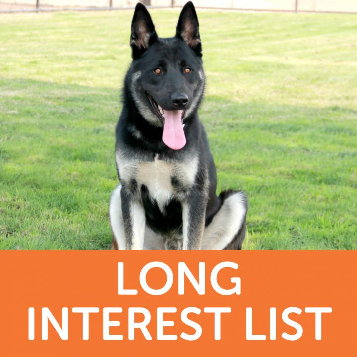 Lobo, an adoptable German Shepherd Dog & Husky Mix in Clovis, CA