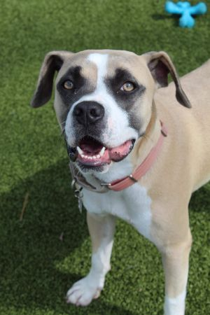 TO APPLY GO TO wwwLuckyDogRefugecom Harley is a stunning 1 year old Boxer mix from Mississippi