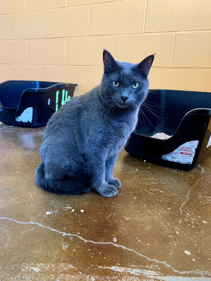 Mr. Chunky, an adoptable Silver Mix in Carencro, LA