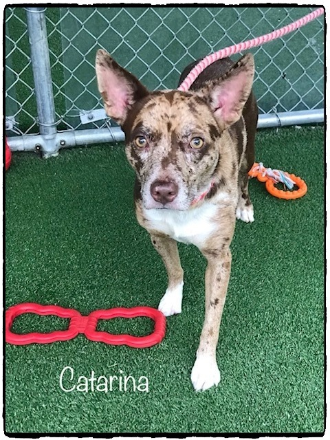 CATARINA, an adopted Australian Shepherd Mix in Marietta, GA