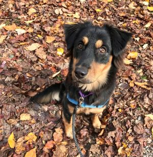 Meet Honey an adorable 1-year-old shepherd mix looking for a forever home She weighs 44 lbs and ha