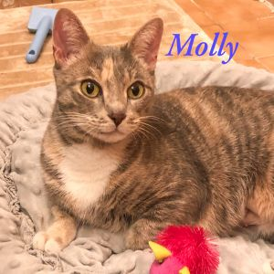 Molly is an affectionate  young gorgeous  dilute calico looking for her forev