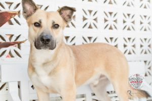 Meet Alex Alex is a handsome Shepherd mix who is about 1-2 years old and is a large boy about