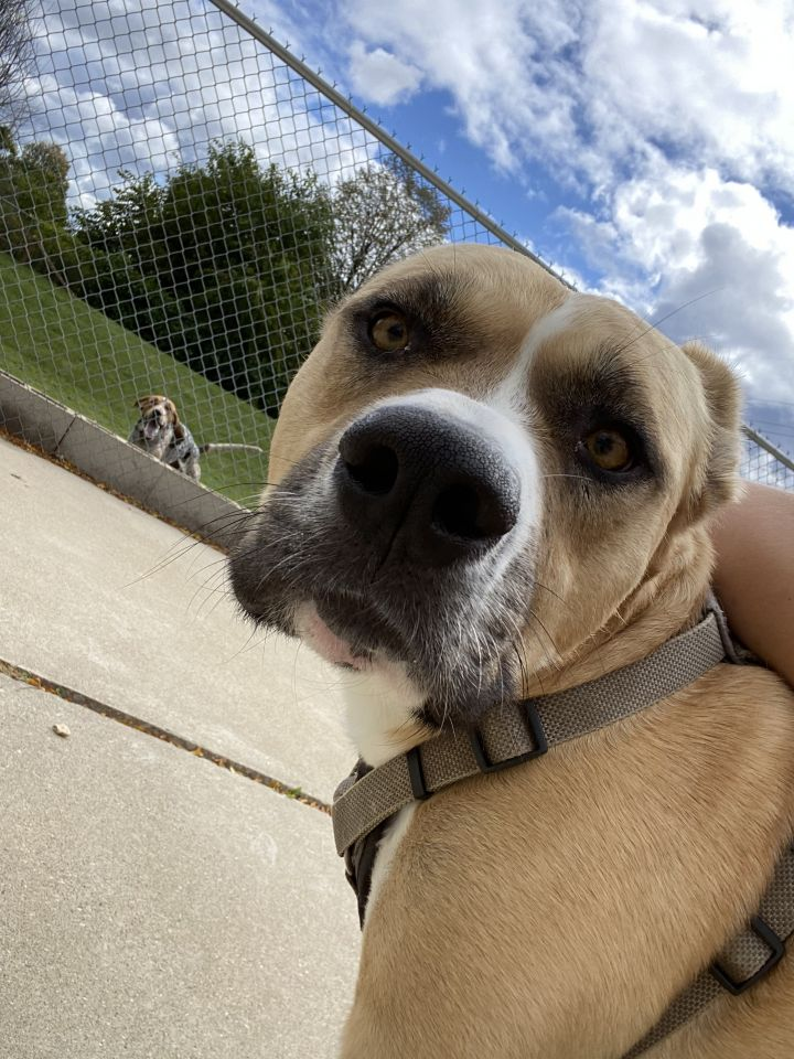 Max, an adoptable Basenji & Pit Bull Terrier Mix in Naperville, IL