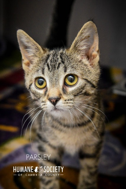 Parsley, an adoptable Domestic Short Hair in Johnstown, PA