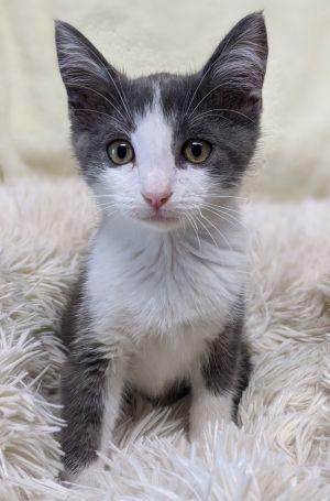 Wilbur American Shorthair Cat