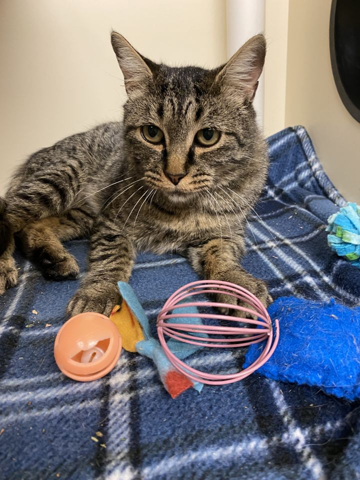 Gizelle, an adoptable Domestic Short Hair in Jackson, WY