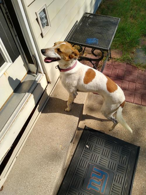 Journey, an adoptable Italian Greyhound & Jack Russell Terrier Mix in Wichita, KS