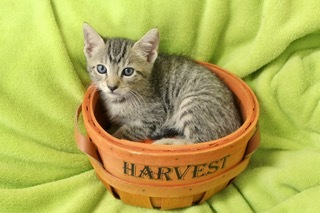 Amazing Andrew, an adoptable Tabby in Saint Augustine, FL